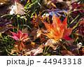紅葉 もみじ 楓の写真 44943318