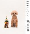 トイプードル プードル 犬の写真 44944355