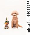 トイプードル プードル 犬の写真 44944356