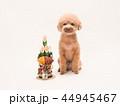 トイプードル プードル 犬の写真 44945467