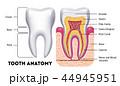 歯 解剖学 デンタルのイラスト 44945951