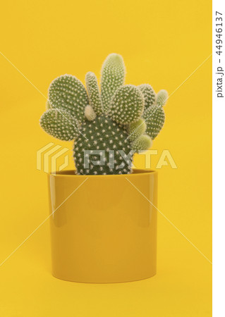 Cactus in a yellow flowerpot on yellow background 44946137