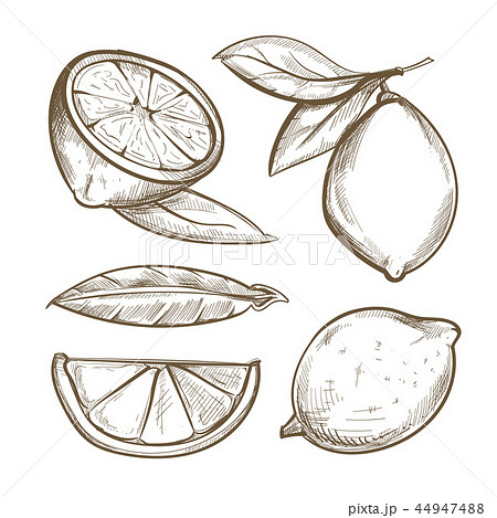 Hand drawn lemons with branch, lemon blossom, citrus slices and leaves 44947488