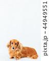 お座り ミニチュアダックス ミニチュアダックスフンドの写真 44949551