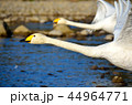 鳥 川 白鳥の写真 44964771