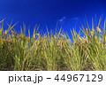 稲穂 稲 晴れの写真 44967129