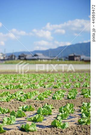 農村風景 レタス畑 44969472