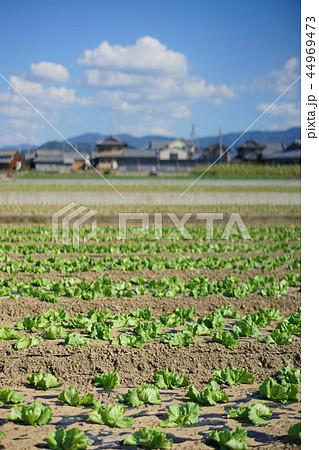 農村風景 レタス畑 44969473