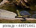 亀 カメ かめの写真 44971441