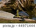 亀 カメ かめの写真 44971444