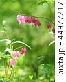タイツリソウ ケマンソウ 花の写真 44977217