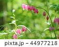 タイツリソウ ケマンソウ 花の写真 44977218