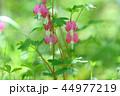 タイツリソウ ケマンソウ 花の写真 44977219