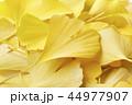 銀杏 秋 紅葉の写真 44977907