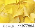 銀杏 秋 紅葉の写真 44977908
