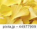 銀杏 秋 紅葉の写真 44977909