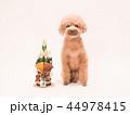 トイプードル プードル 犬の写真 44978415