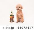 トイプードル プードル 犬の写真 44978417