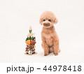 トイプードル プードル 犬の写真 44978418