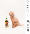 トイプードル プードル 犬の写真 44978542