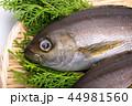 魚 伊佐幾 伊佐木の写真 44981560