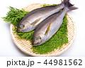 魚 伊佐幾 伊佐木の写真 44981562