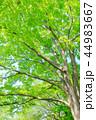 新緑 木 樹木の写真 44983667
