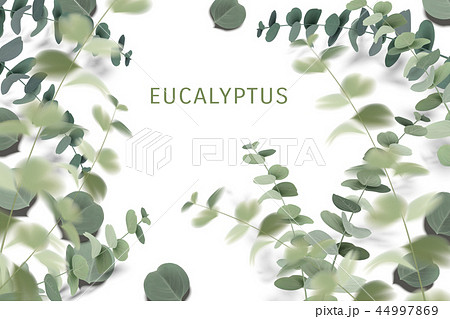 Elegant eucalyptus leaves 44997869