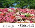 西山公園 ツツジ 花の写真 45001413