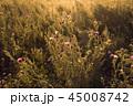 あざみ アザミ 植物の写真 45008742