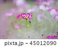 コスモス 花 ピンクの写真 45012090