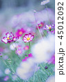 コスモス 花 ピンクの写真 45012092