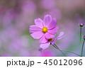 コスモス 花 ピンクの写真 45012096