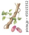 あけび 果実 木通のイラスト 45015352