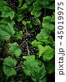 ガーデン 豆 フラワーの写真 45019975