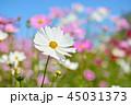 コスモス 花 コスモス畑の写真 45031373