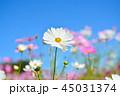 コスモス 花 コスモス畑の写真 45031374