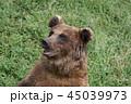 熊 ヒグマ エゾヒグマの写真 45039973