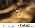 くも クモ スパイダーの写真 45050311