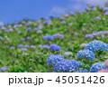 アジサイ 花 コピースペースの写真 45051426