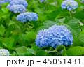 アジサイ 花 青の写真 45051431