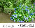 アジサイ 花 青の写真 45051438