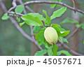 果実 果物 花梨の写真 45057671
