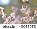 花 紅梅 梅の写真 45063053