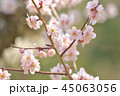 花 紅梅 梅の写真 45063056