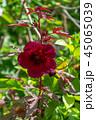 花 フラワー ハイビスカスの写真 45065039