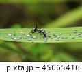 あり アリ 蟻の写真 45065416