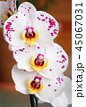 Beautiful tender orchid flower 45067031