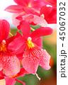 Beautiful tender orchid flower 45067032