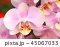 Beautiful tender orchid flower 45067033